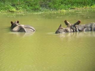 One-horn Rhinos